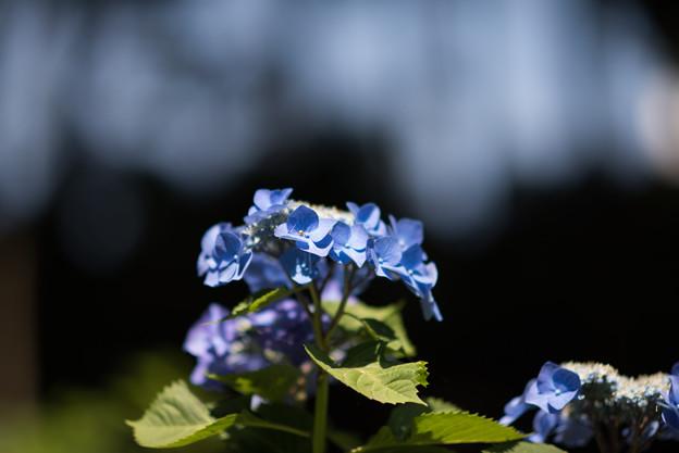 薬師池公園【紫陽花:ブルースカイ】2
