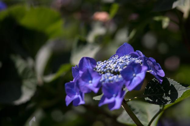 薬師池公園【紫陽花:ブルースカイ】4