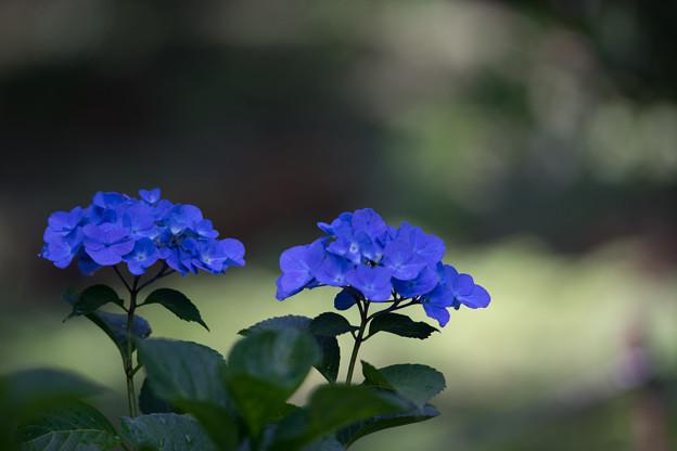 薬師池公園【紫陽花:ブルーダイヤモンド】2