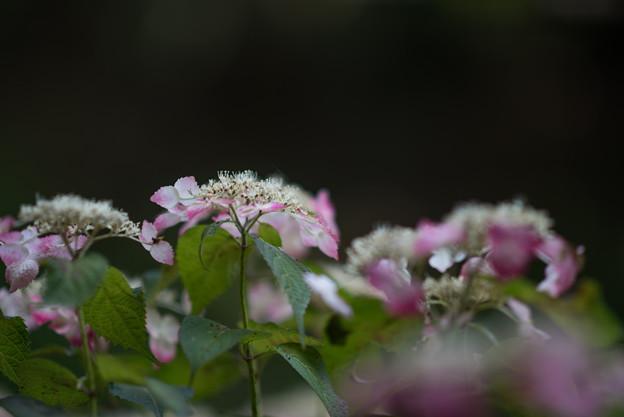 薬師池公園【紫陽花:紅ガク】
