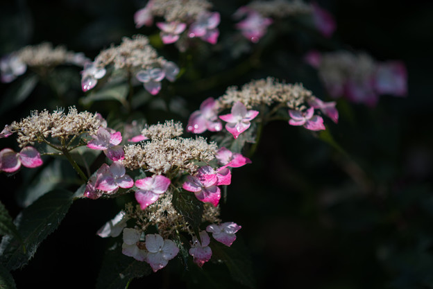 薬師池公園【紫陽花:舞妓】1