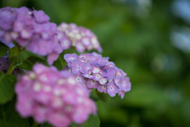 薬師池公園【紫陽花:赤系アジサイ】3