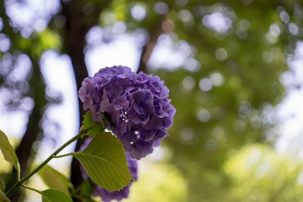 薬師池公園【紫陽花:青系アジサイ】4