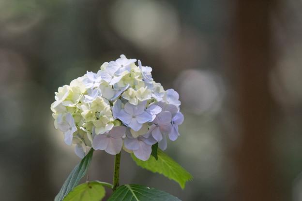 薬師池公園【紫陽花:白系アジサイ】3