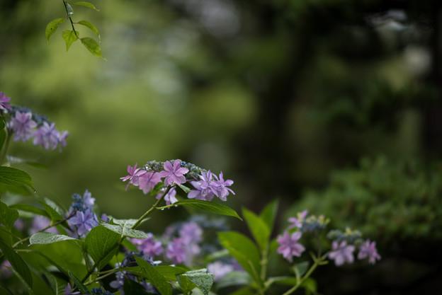 浄慶寺【紫陽花:ガクアジサイ】2