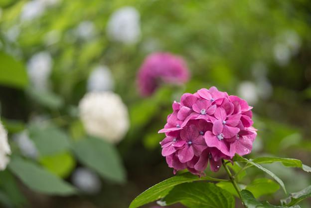 浄慶寺【紫陽花:赤色アジサイ】