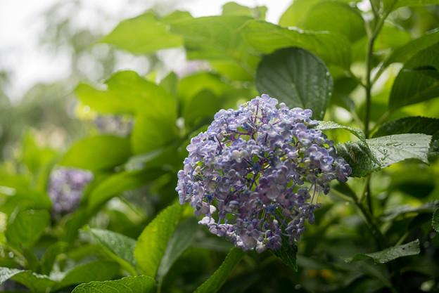 浄慶寺【紫陽花:ウズアジサイ】