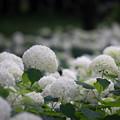 写真: 相模原北公園【紫陽花:アナベル】3