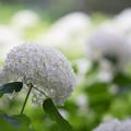 写真: 相模原北公園【紫陽花:アナベル】5
