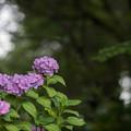 写真: 相模原北公園【紫陽花:西洋アジサイ】1