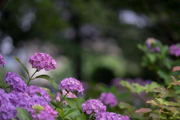 相模原北公園【紫陽花:西洋アジサイ】2