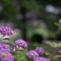 写真: 相模原北公園【紫陽花:西洋アジサイ】2