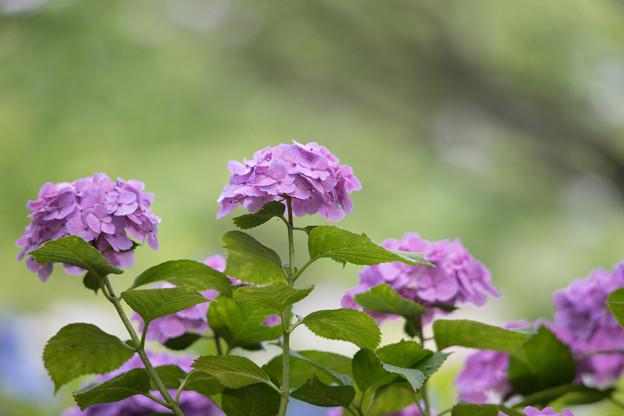 相模原北公園【紫陽花:西洋アジサイ】3