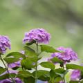写真: 相模原北公園【紫陽花:西洋アジサイ】3