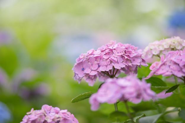 相模原北公園【紫陽花:西洋アジサイ】5