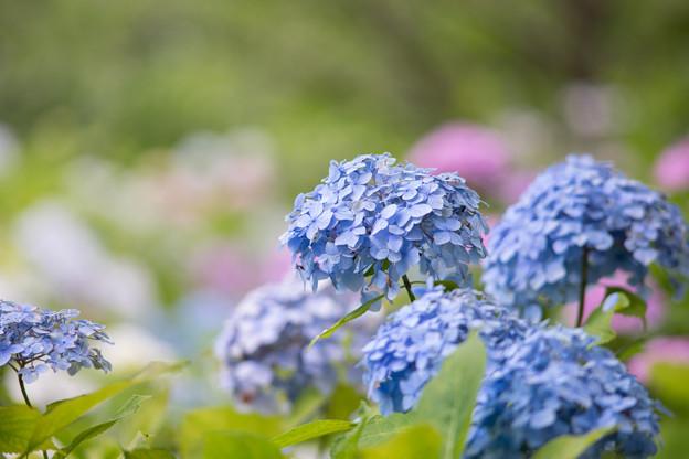 相模原北公園【紫陽花:西洋アジサイ】7