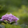 写真: 相模原北公園【紫陽花:ピンクシャワー】