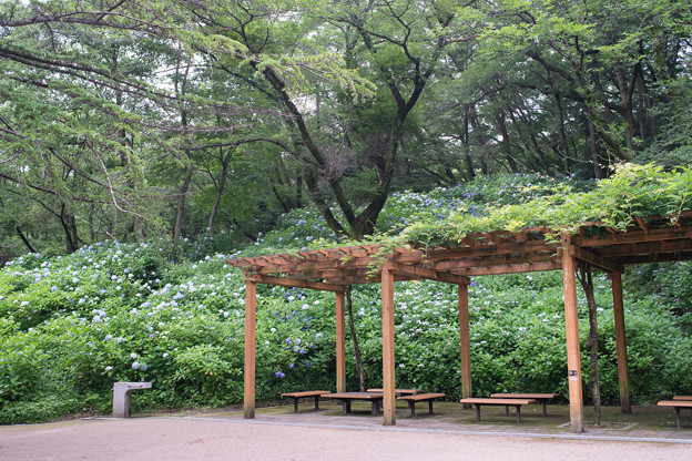 生田緑地のあじさい山【紫陽花】1-1