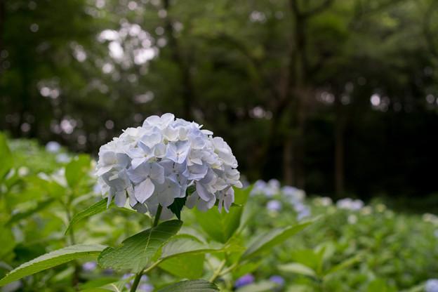 生田緑地のあじさい山【紫陽花】1-6