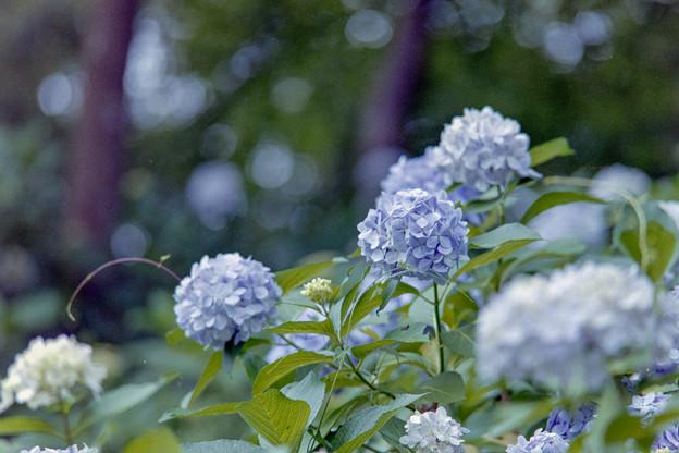 生田緑地のあじさい山【紫陽花】2-1