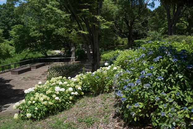 昭和記念公園【あじさいロードの景色】4