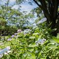 昭和記念公園【紫陽花:ガクアジサイ】1