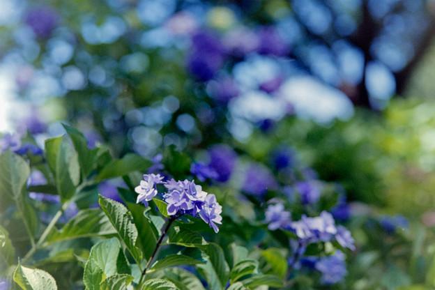 昭和記念公園【紫陽花:ガクアジサイ】2