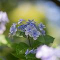 昭和記念公園【紫陽花:ガクアジサイ】5