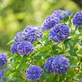昭和記念公園【紫陽花:青系アジサイ】1