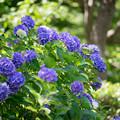 昭和記念公園【紫陽花:紫系アジサイ】1