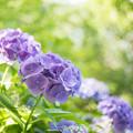 昭和記念公園【紫陽花:紫系アジサイ】3