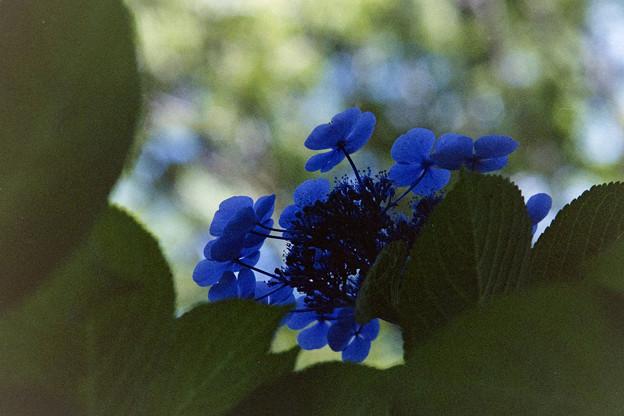 昭和記念公園【紫陽花:ブラウリング】2
