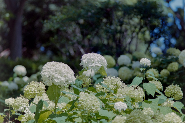 昭和記念公園【紫陽花:アナベル】1