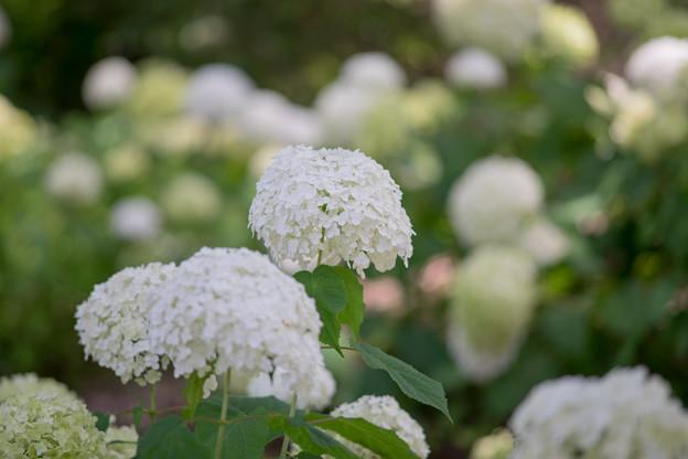 昭和記念公園【紫陽花:アナベル】2