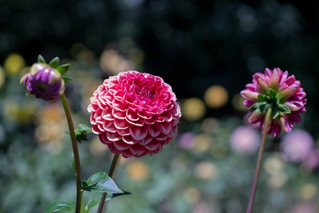 昭和記念公園【赤系ダリア】2