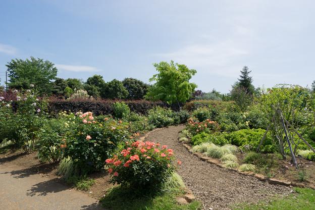 花菜ガーデン【「薔薇の轍」の様子】