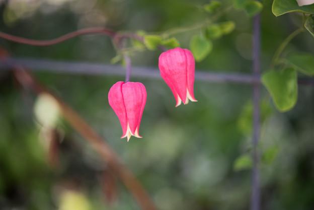 花菜ガーデン【クレマチス:テクセンシス】