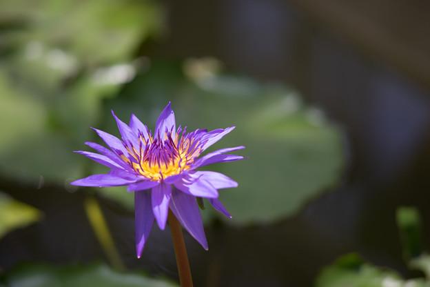 Photos: 神代植物公園【熱帯スイレン:ディレクター・G.T.ムーア】
