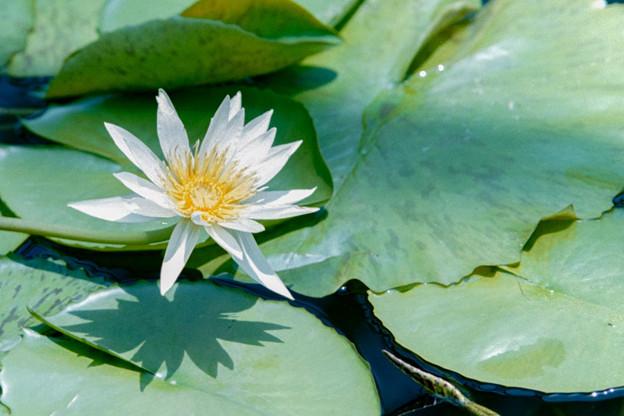 神代植物公園【熱帯スイレン:ホワイト・ディライト】1