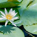 Photos: 神代植物公園【熱帯スイレン:ホワイト・ディライト】1