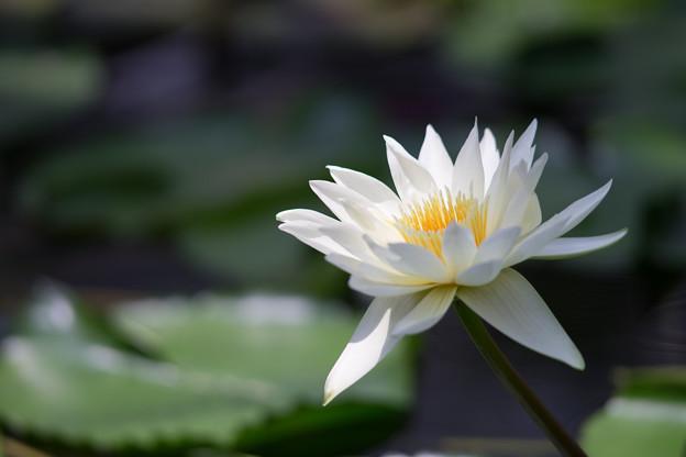 神代植物公園【熱帯スイレン:ホワイト・ディライト】2