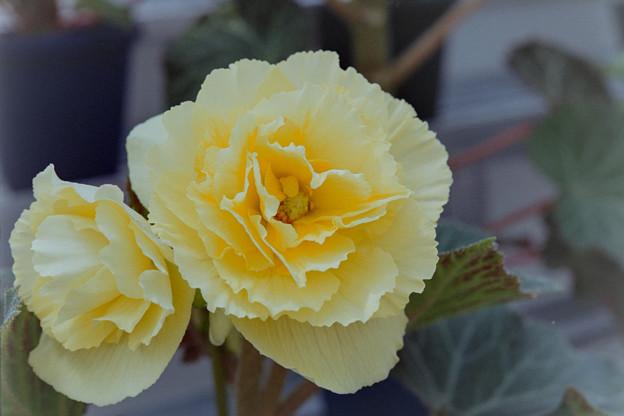 神代植物公園【温室の花:ベゴニア】
