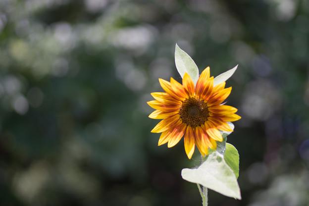 神代植物公園【ヒマワリ】3