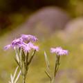 Photos: 神代植物公園【カワラナデシコ】2