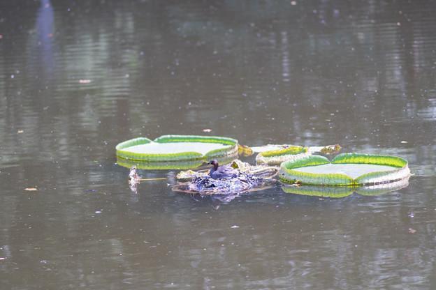 Photos: 神代植物公園【カイツブリの巣】