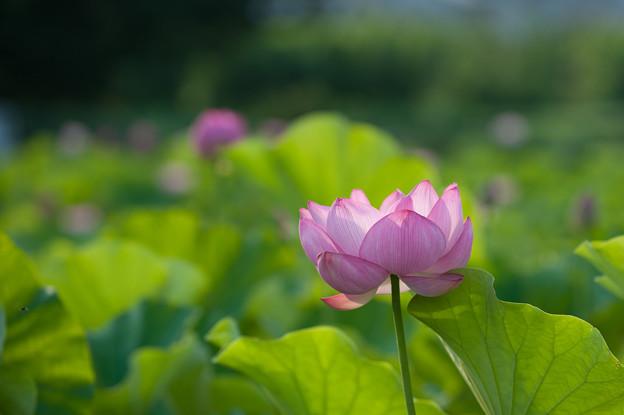 小山田神社【大賀蓮】3-6
