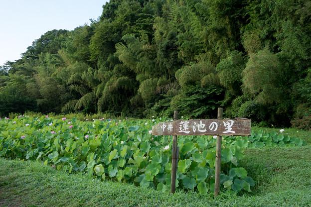 中井蓮池の里【蓮の花】1-1
