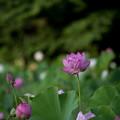 中井蓮池の里【蓮の花】1-2