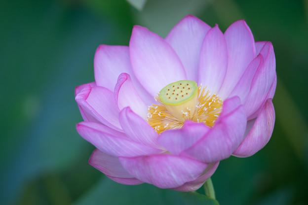中井蓮池の里【蓮の花】1-6
