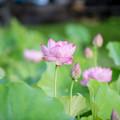 写真: 中井蓮池の里【蓮の花】2-2
